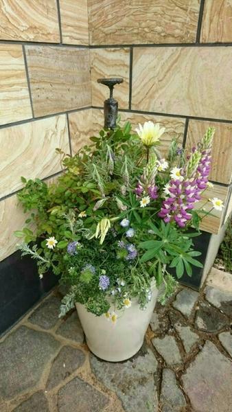 昨年を娘が作った寄せ植えを、リメイクした物です。 枯れてしまったブルーサルビアの