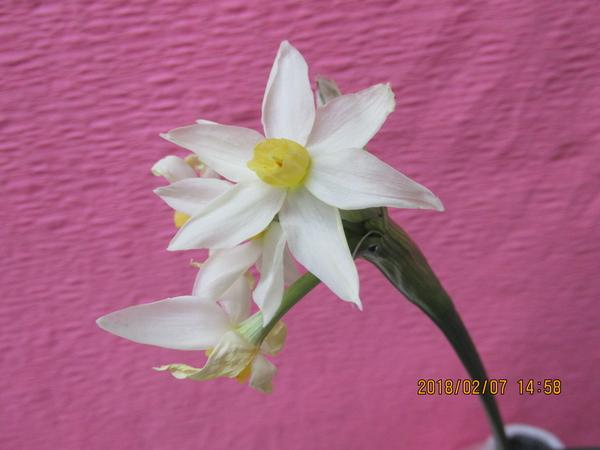 ほころび始めたまま、雪に負けてたプランター植えの《房咲水仙・フレンドモナーク》