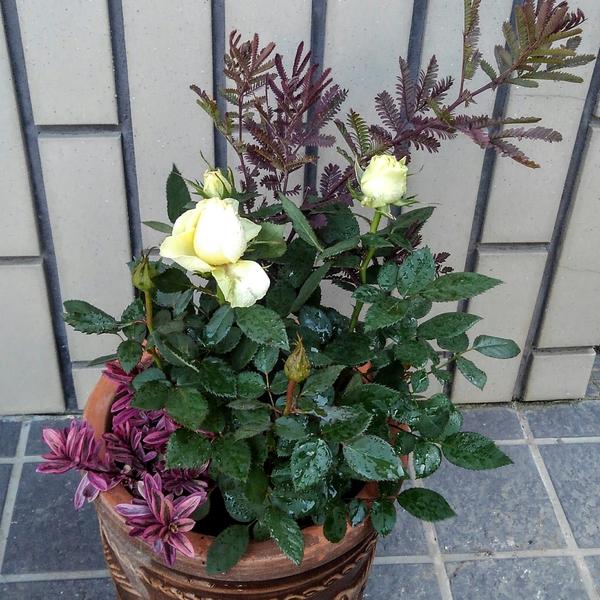 また買ってしまった...  銀葉アカシア(プルプレア) 大きな鉢で、何年間も植えっぱなし