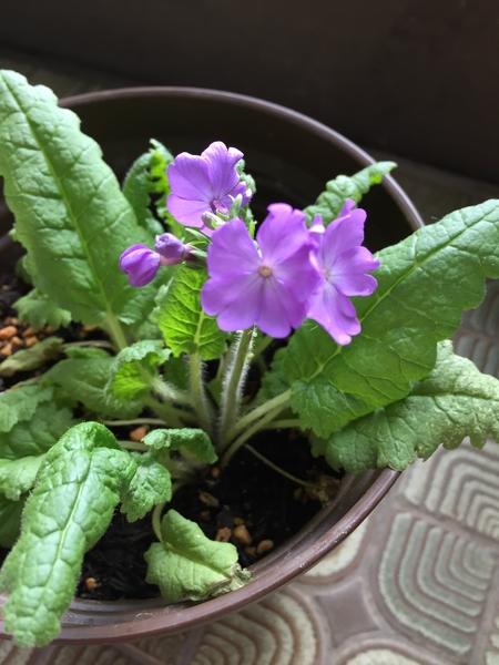 日本さくら草 苗をいただいて、蜃気楼という名前から、どんな花が咲くのか楽しみにし