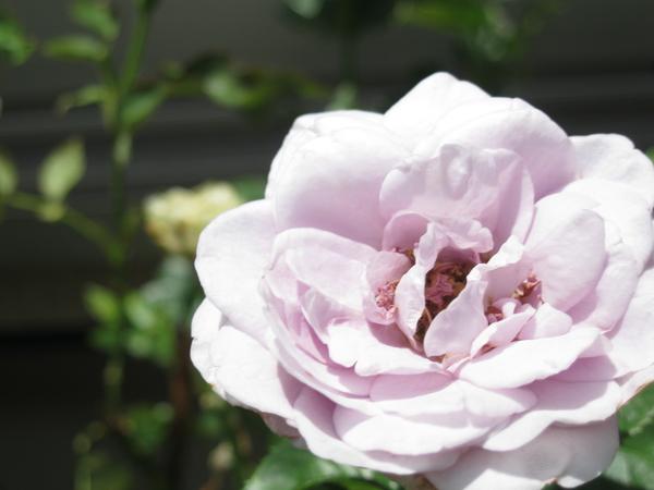 ブルーバュー、開花。 このムラサキを待ってた!!
