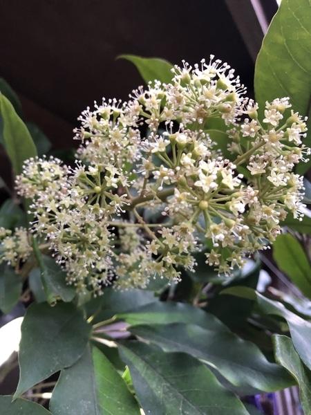 フカノキの花 学名:Schefflera octophylla (シェフレラ・オクトフィラ) 和名:フカノキ