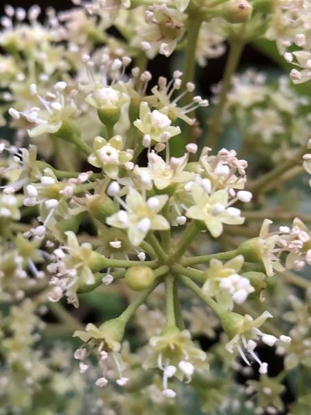 フカノキの花