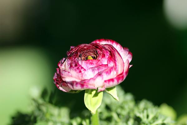 ラナンキュラスとアネモネ、よく似てるよね。 ほら、ラナンキュラスには花びらととも