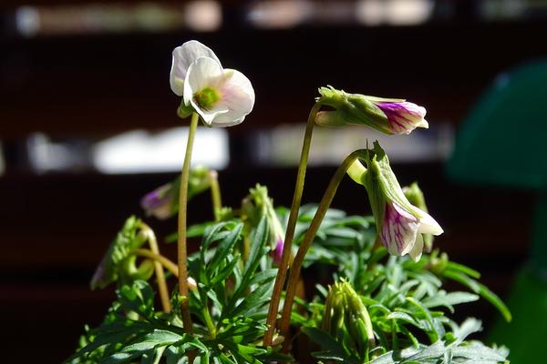 まだ咲ききらない微妙な花姿  ヒゴスミレ 肥後菫(スミレ科 スミレ属) 撮影地:自宅