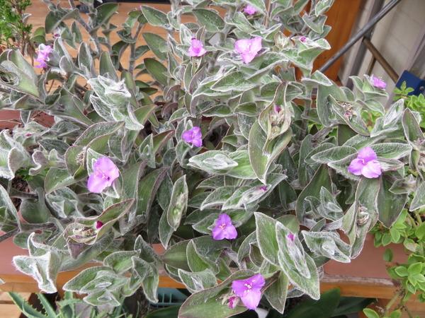 トラデスカンティア・シラモンタナ 屋外で育てると冬場には葉っぱが落ちてしまいます