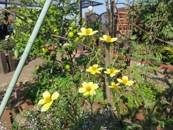 ウインターコスモス 花弁が白っぽい物も有ります。