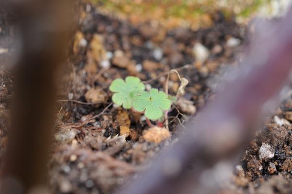 ゲラニウム ビルウォーリス? 昨年この場所に植えていました。もしかするとこぼれ種か