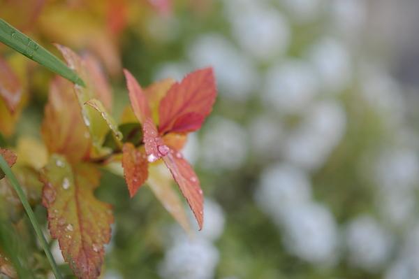 シモツケゴールドフレーム 葉が紅葉中。もうすぐ散ると思います。