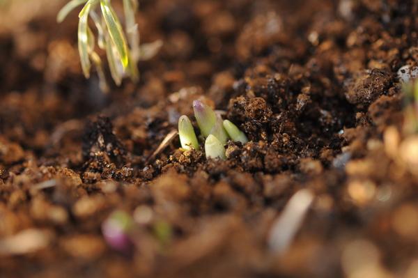 イングリッシュブルーベル、芽が出てきました。