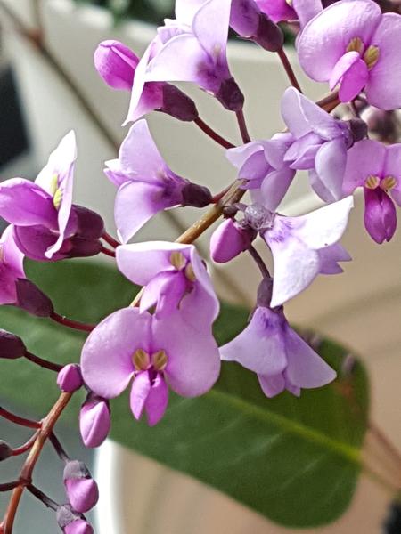 ハーデルベルギアの3色セットの薄紫がかつたピンクの花💠