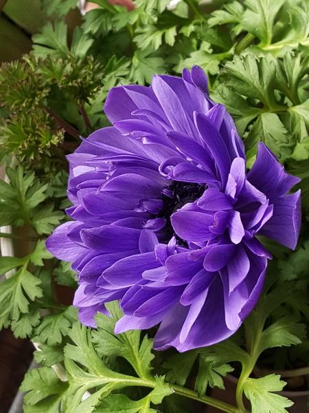 アネモネの青紫の花びら❗ 美しい色の重なり溢れんばかり😉