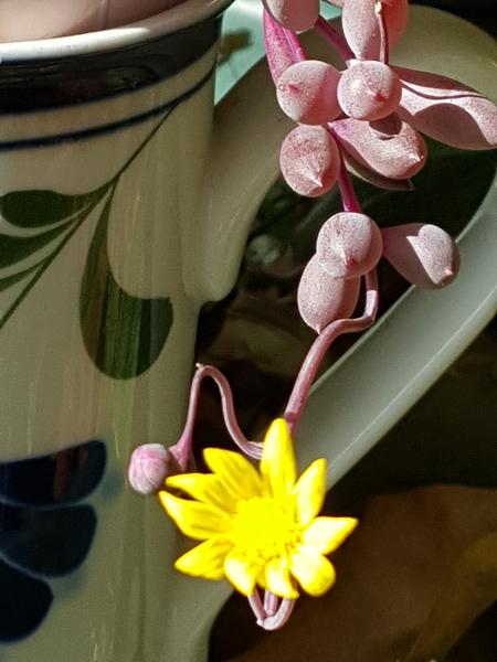 可愛いルビーネックレスの、小さな小さな黄色い花が日差しを浴びて眩しそうです☀