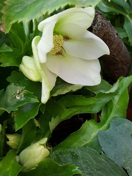 開いた花のそばでは小さな蕾もふくらんだようです❤