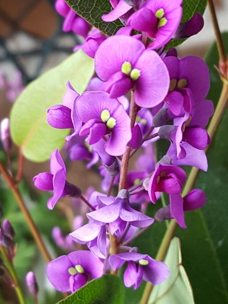 ハーデルベルギアの赤紫色の花💠
