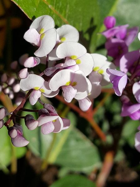 ハーデルベルギアの白花さん、何度見ても綺麗なお顔に、ユニークな大きなお鼻にみえま