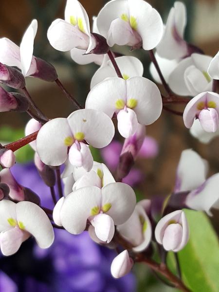 ハーデルベルギアの胡蝶蘭を思わせる白い花💠