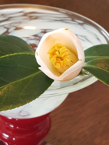 椿の一枝、固いと思っていた蕾があっという間に開き始めました🌹 孫娘の誕生花には間に