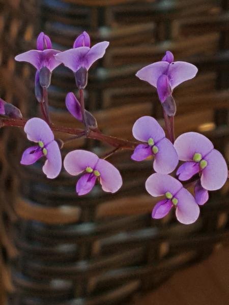 ハーデルベルギアの青紫さん🌹 黄色いお目目がぱつちりのおすましやさん❗