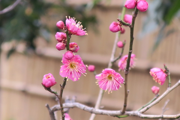 梅が次々に開花し、今年も梅まつりが始まります。