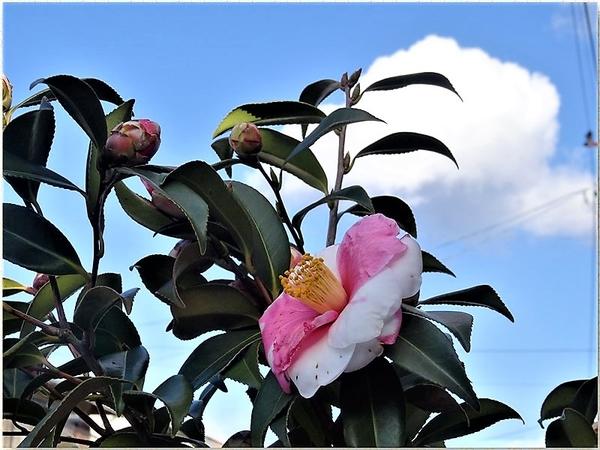 💮青空と雲をバックに咲いてるツバキ(曙錦)の花