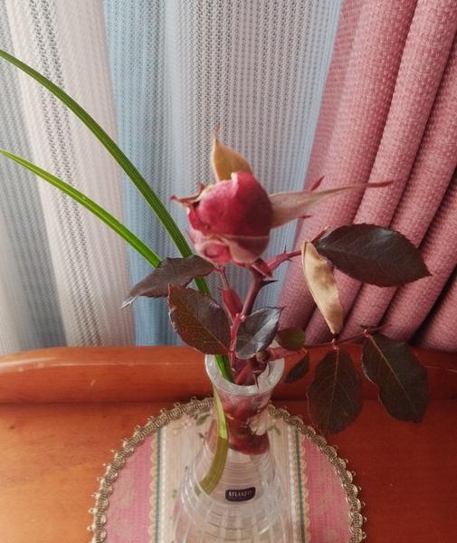 「ばら(ピンク)と春蘭の葉」📷20180217  バラの葉が紅葉していましたので、緑の葉が美