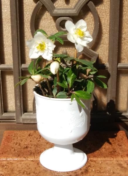 「クリマスローズ・八重咲・白」📷20180215 この冬に購入し、鉢植えにて。