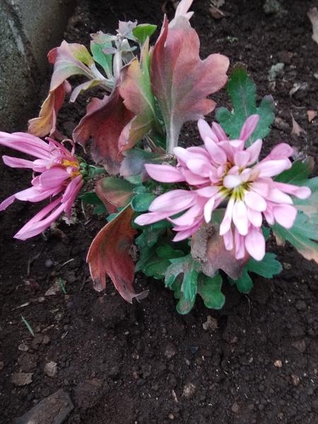 「菊📷20180120」切り戻し後 開花。小さいけれど可愛いです。