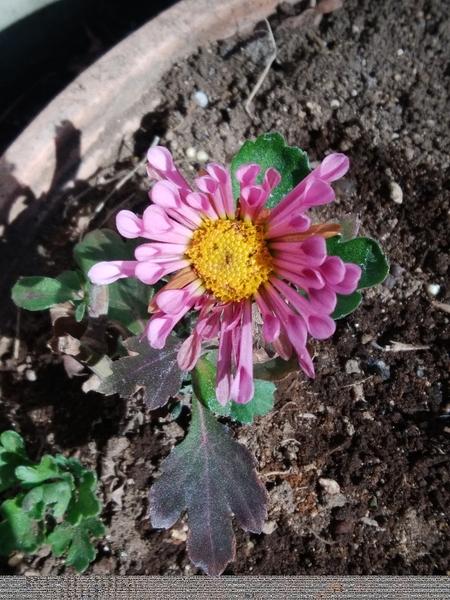 「菊」📷20180209 昨年 鉢で購入後切り戻した処一つだけ開花して咲いています。 花の少