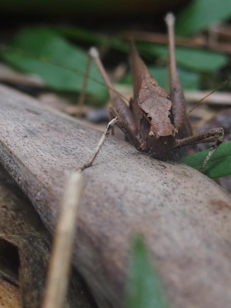 バッタ中国 新たなバッタの群れが、東南アジアから中国にかけて出現。「黄色角竹バッタ(YSBL)」。竹や稲等を食べ尽くす。中国・雲南省等ですでに被害発生(RIEF)
