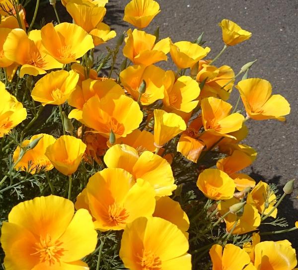 カリフォルニアポピー  オレンジ  お日様と共に花が開くので日向向きです。 夜または