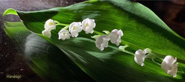 🎼スズラン(キジカクシ科) 別名:君影草・谷間の姫百合・聖母の涙・天国への階段 *花の