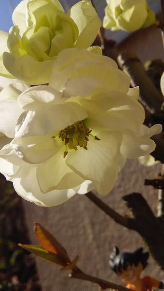 木瓜白寿の アップです♪ 八重咲の綺麗な美人さんです~💗