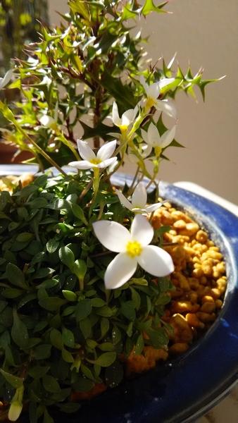 ヒナソウとヒイラギを植えています♪ ヒナソウは かれんでハカナイ姿が 愛おしいです~