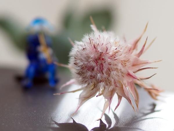 セルリア「プリティピンク」 終わった花を摘みました