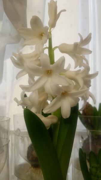 ヒヤシンス 白が一番に咲きました