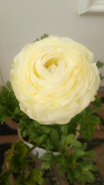 ラナンキュラス 花びらの重なりが好きです♪