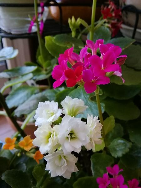 次々と咲き始めた色とりどりのカランコエ。