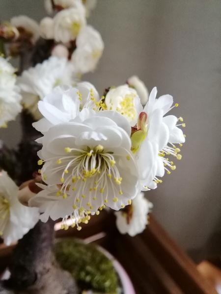 玉牡丹(白梅) 花が大きく蕊は長く 爽やかな香りがします。 upで撮ってみました。 やっ