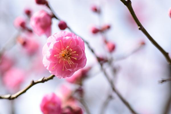 梅 八重寒紅 今年は寒いので花の数は少なめです。