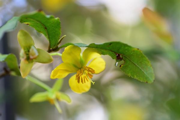 ミッキーマウスノキ 植物園の温室の中で撮ったミッキーマウスノキです。 赤い萼と花床