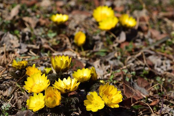 フクジュソウ 近くの公園のフクジュソウです。 今年のフクジュソウは花は少し小さいよ