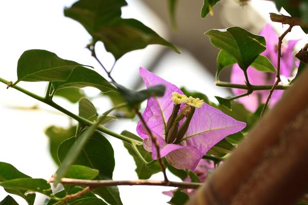 ブーゲンビリア  近くの植物園の温室で撮りました。 なかなか3つ揃ったシベの花は無