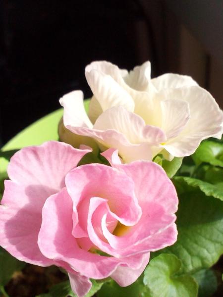 プリムラ 白色からピンク色へ、、、 夏越しのプリムラ、、数年が経ちました