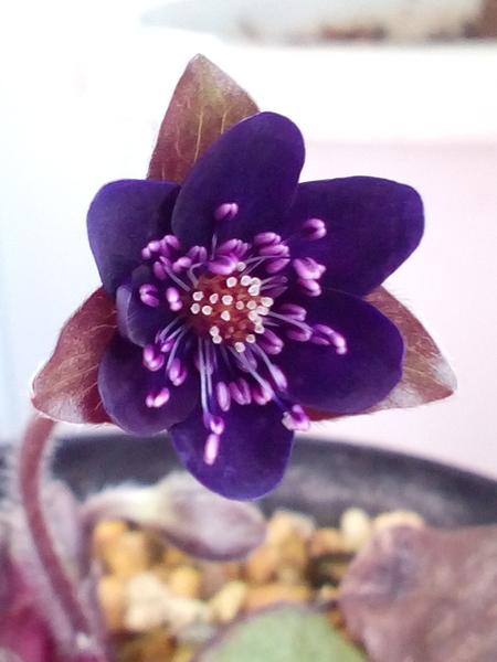 雪割草 お花が小さくて、、手がぶれて、、、ピントが合わない(;へ:) はい、まだま