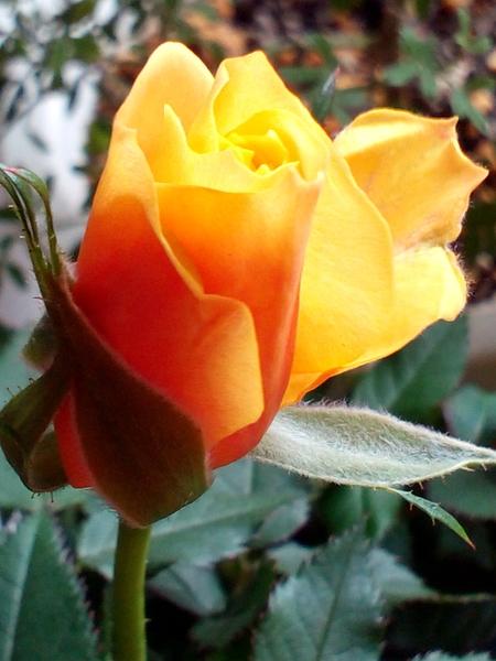 ミニバラ  香りも、、温もりを感じるこの明るいお色も、、 私のハートを射止めました(