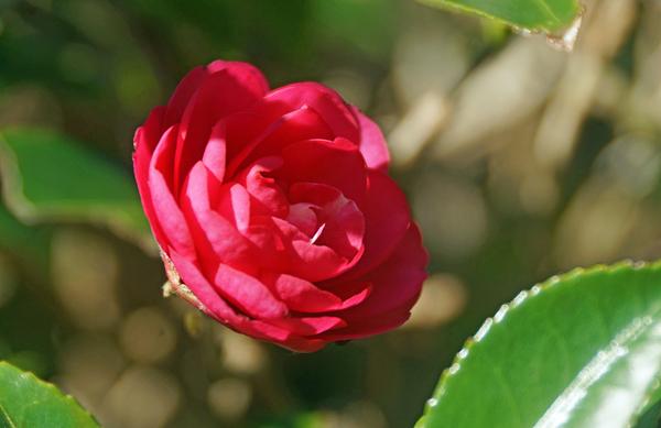 サザンカ(山茶花) ツバキ科ツバキ属 一輪だけ咲いています。そろそろ終わりです・・
