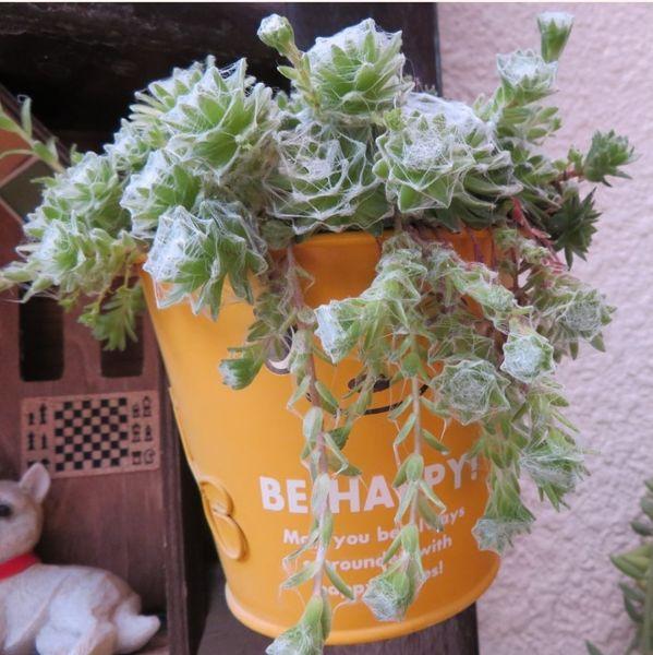 🌵このサボテンの頭に、最初は鉢巻きスタイルに花が咲き、今日の花、お皿を乗せた河童