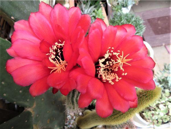 🌻サボテン美女丸(マミラリア属)の花...昨日の日記で花咲く掲載したばかり、柱サボテン
