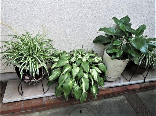 ③玄関先に並ぶオリズルラン・斑入りギボウシ(ホスタ)・湿地性カラー(ウェディングマ